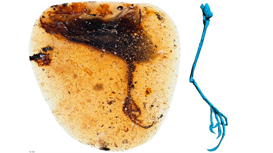 Un ave ancestral con dedos inéditos, preservada en ámbar