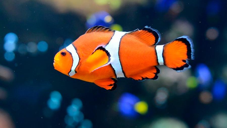 Contaminación lumínica inhibe reproducción de pez payaso