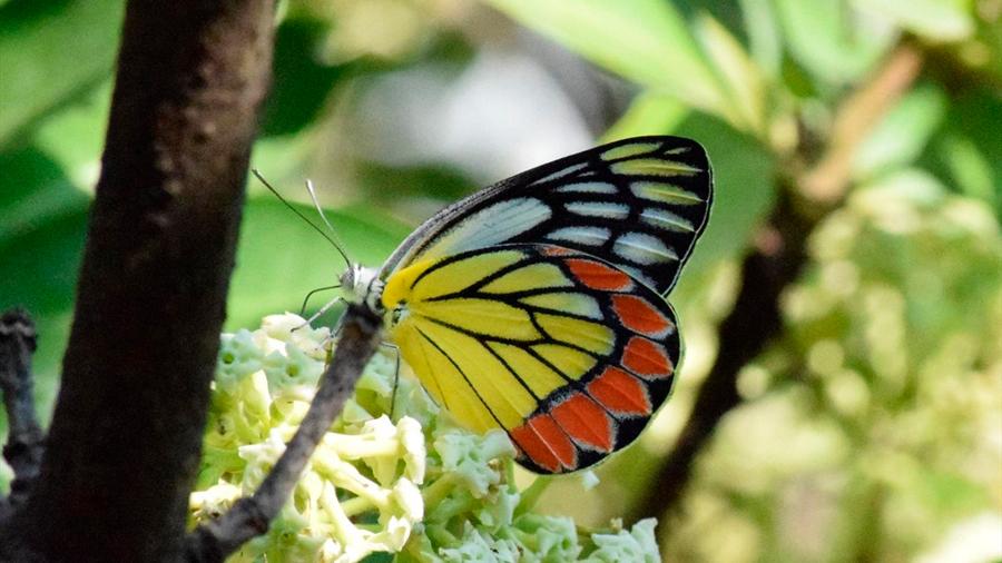 Especies comunes de mariposa declinan un 33 por ciento en 21 años