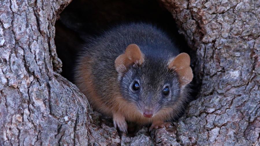 Descubren un pequeño marsupial que muere por exceso de sexo
