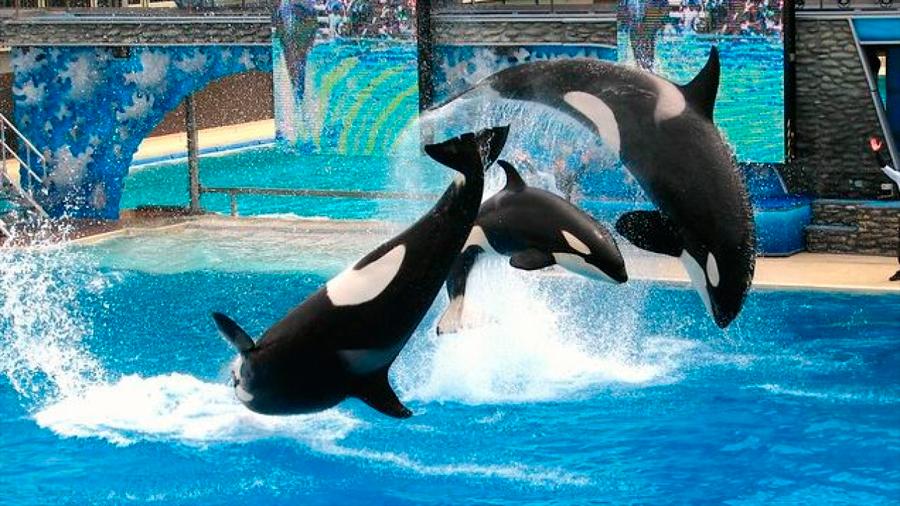 El estrés crónico acorta la vida de las orcas en cautividad
