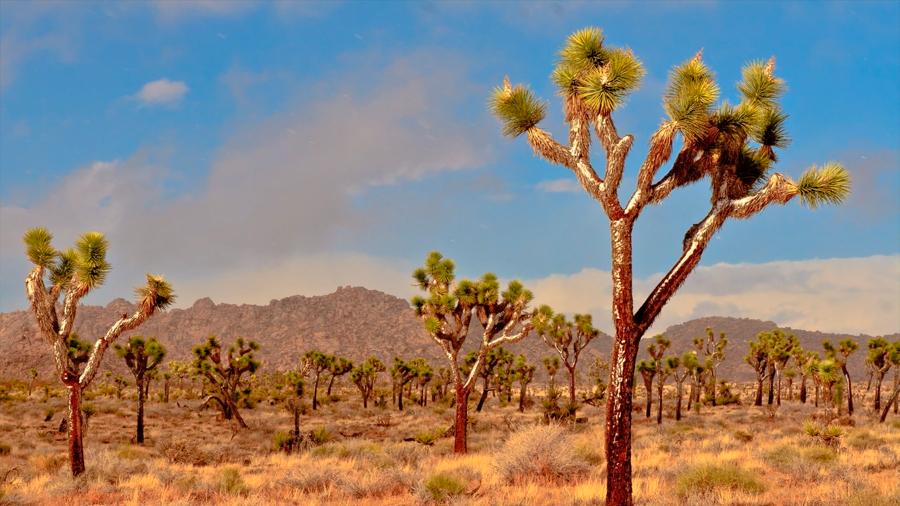Los árboles de Josué y sobrevivientes de la era de los mamuts afrontan la extinción