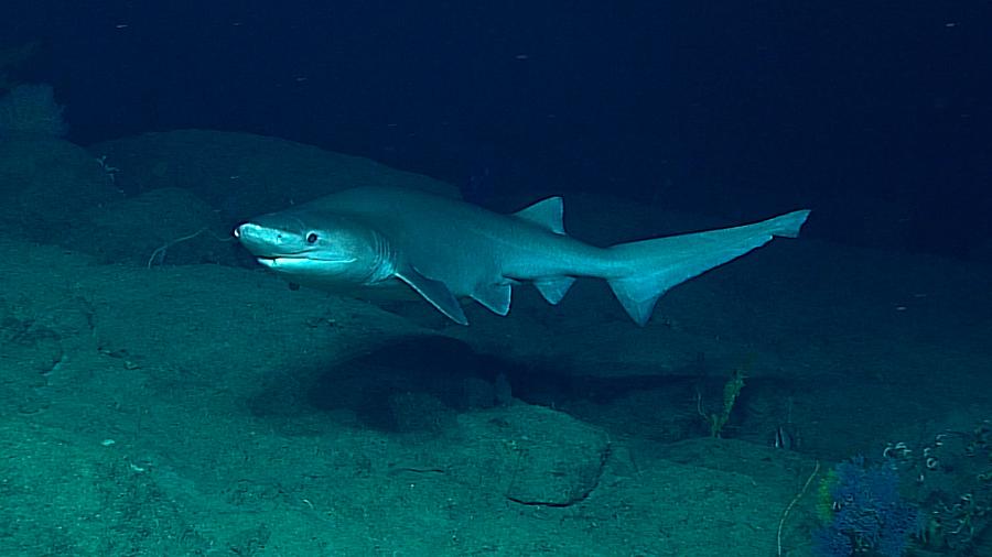 Captan imágenes únicas de un tiburón cuya especie surgió hace millones de años