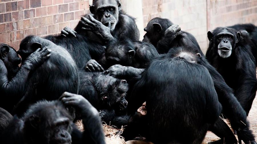 Los grandes simios tienden a reunirse cuando se les muestran vídeos