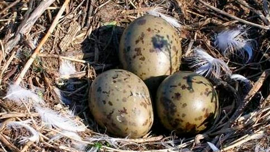 Embriones de gaviota responden de los huevos a gritos de advertencia paternos