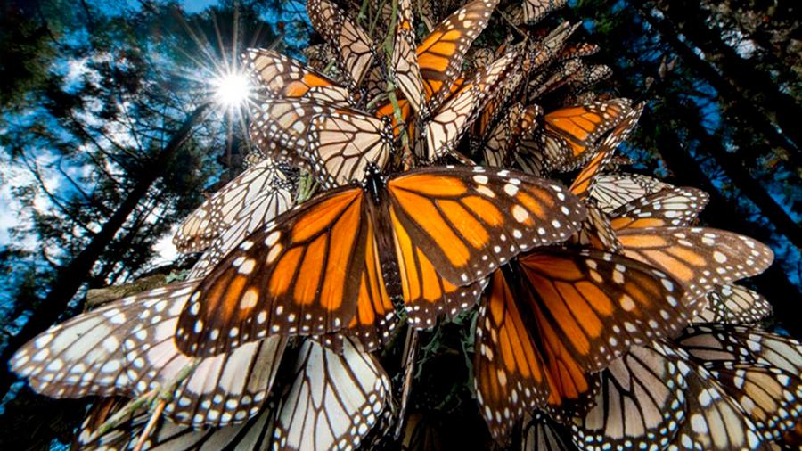 Científicos en EU detectan una disminución en el número de mariposas monarca