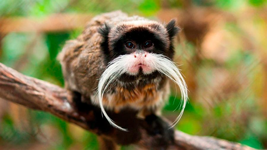 Los monos contribuyen a la regeneración de los bosques tropicales