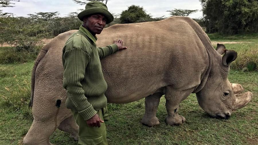 Intentan recuperar al rinoceronte blanco del norte con inseminación artificial