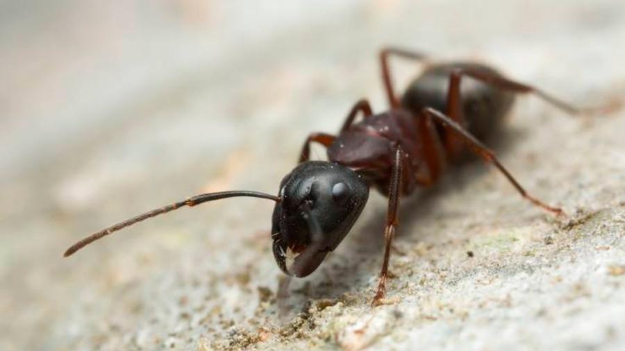 """Un """"hongo zombi"""" se apodera del cuerpo de las hormigas y las devora desde adentro"""