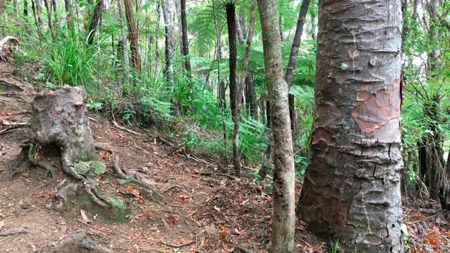 Descubren que un tocón de árbol moribundo sigue con vida gracias a los árboles vecinos