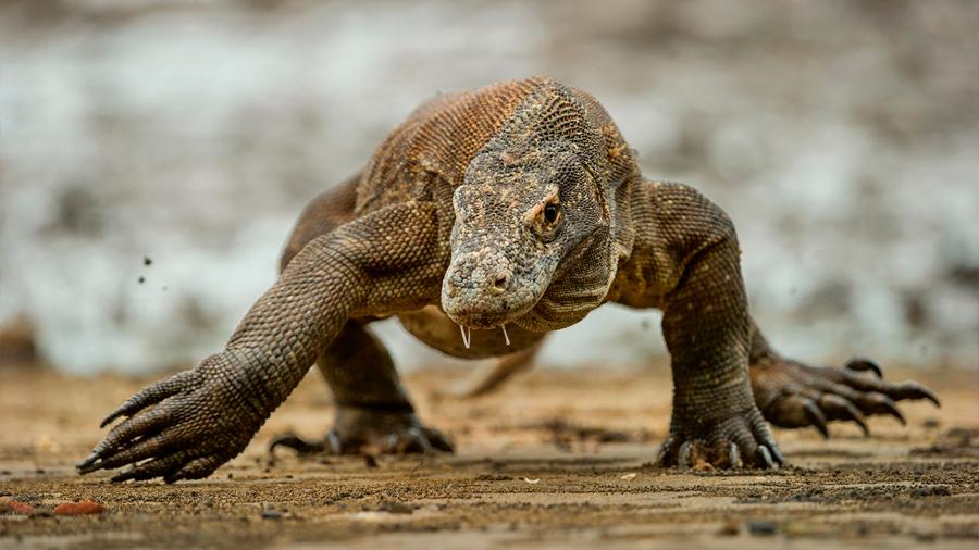 Indonesia cerrará la isla de Komodo para proteger de la extinción a los dragones