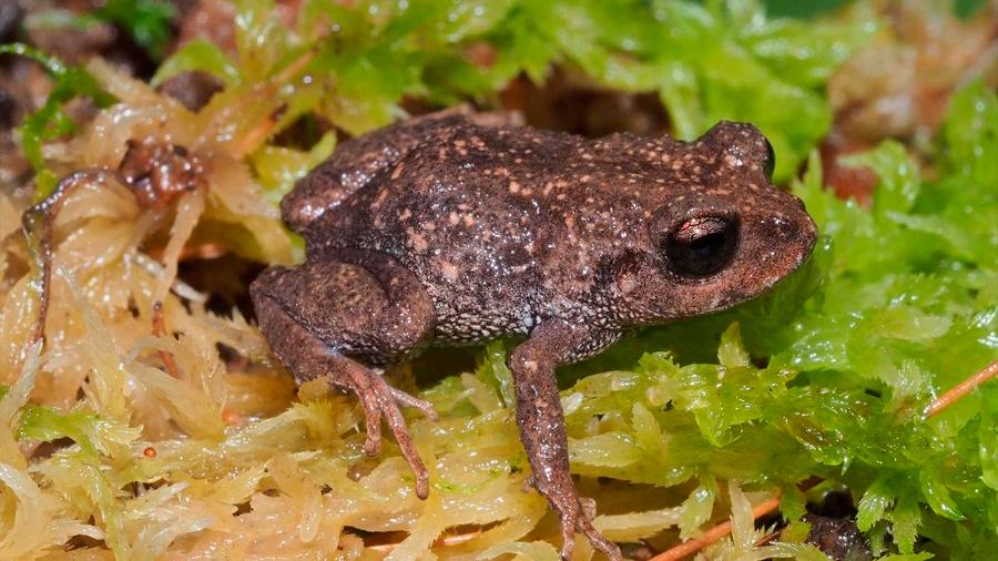 Descubren en Ecuador minúsculas ranas que pesan 4 gramos y de fácil adaptación a zonas altas