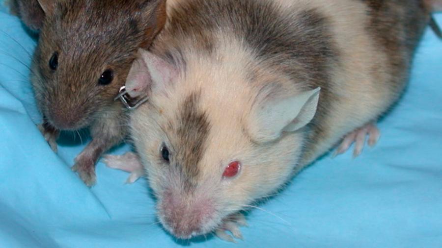Japón aprobó la creación de embriones híbridos de humanos y ratones