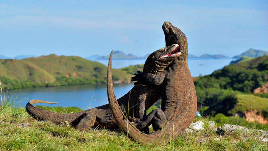 Científicos estadounidenses descifran el misterioso genoma del dragón de Komodo