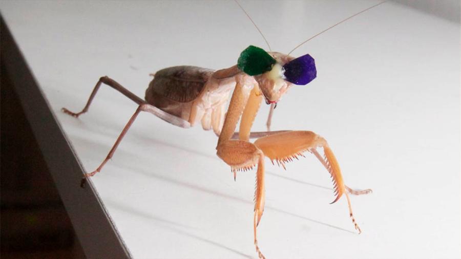 Investigadores descubren que las mantis religiosas pueden ver en 3D