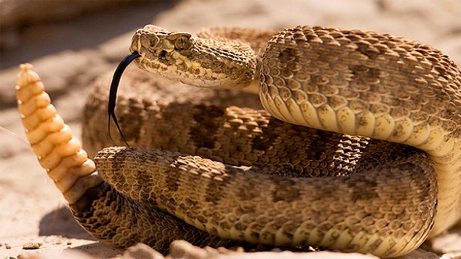 Crisis climática impacta comportamiento de serpientes de cascabel en México: científicos