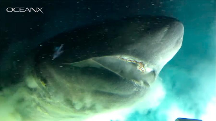Nuevas imágenes del tiburón milenario captado en las Bahamas