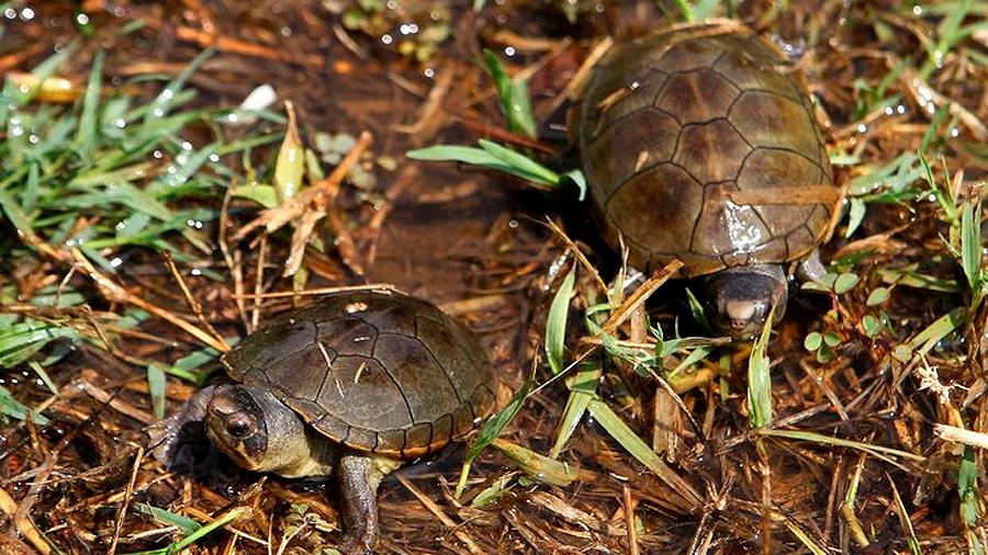 Embriones de tortuga ayudan a elegir su sexo: estudio