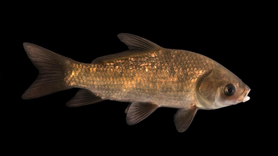 Un pez que nació antes de la Primera Guerra Mundial tiene el récord de longevidad