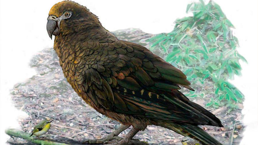 Hallan en Nueva Zelanda un loro prehistórico de un metro de altura y 7 kilos de peso
