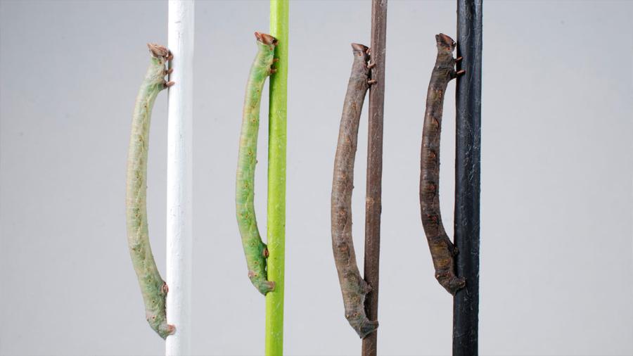 Una larva capaz de camuflarse puede 'ver' los colores a través de la piel