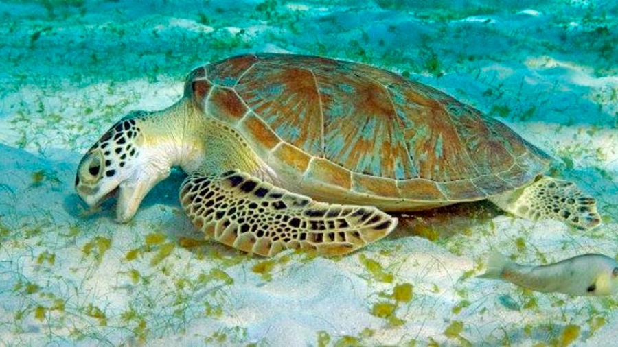 Confundidas, tortugas verdes comen plásticos parecidos a algas marinas
