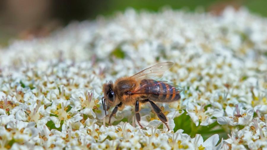 Startups mexicanas logran proteger a las abejas de la extinción