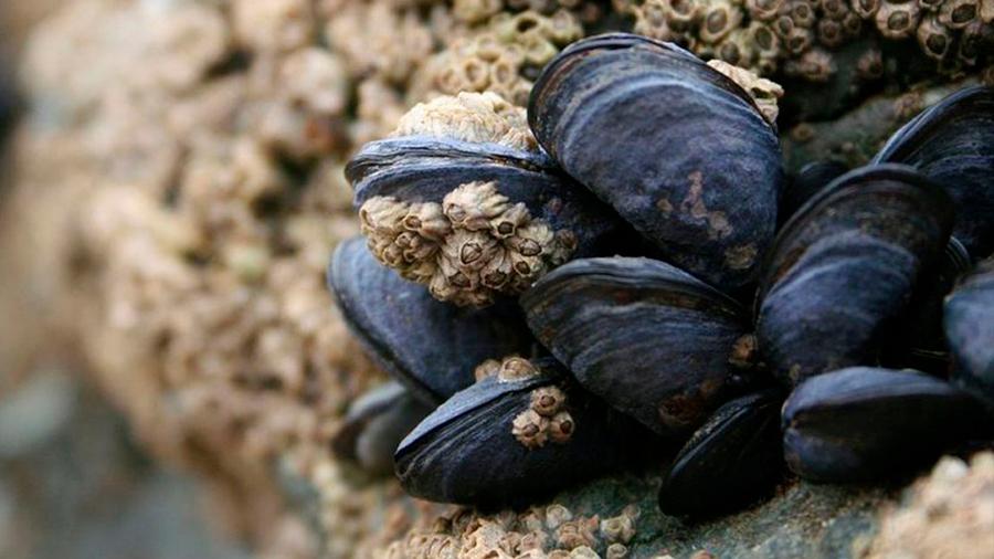 El mejillón, superfiltrador marino: arrasa con microplásticos, pesticidas y bacterias