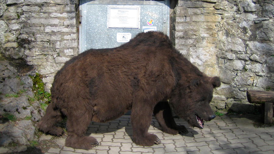 Destacan gran peso del ser humano en extinción del oso de las cavernas