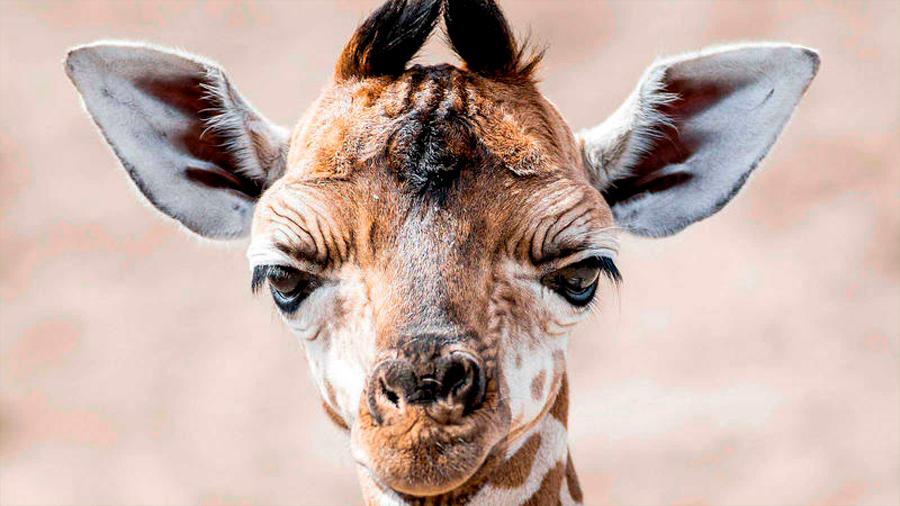 Comercio de jirafas se regulará por primer vez debido a la disminución de su población
