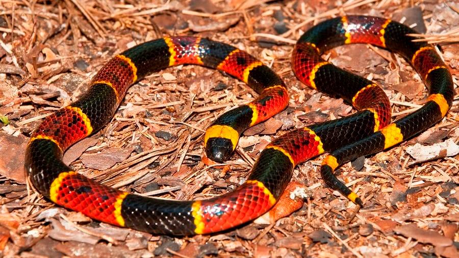 Investigadores mexicanos diseñan potente inmunógeno contra el veneno de serpientes