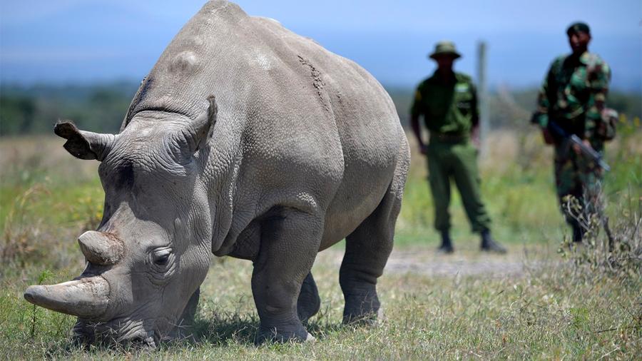 Extraen ovocitos de rinocerontes blancos para salvar a la especie