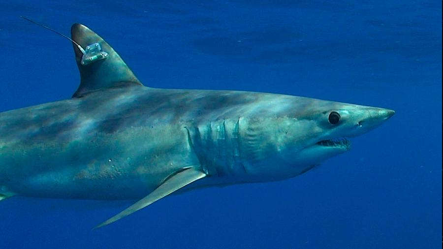 Tiburones y rayas en peligro de extinción serán protegidos