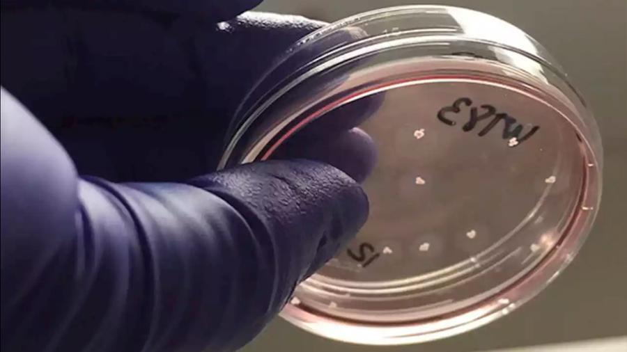Minicerebros creados en laboratorio desarrollan redes neuronales funcionales