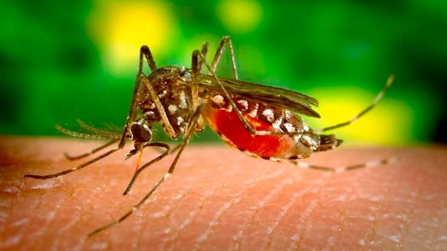 Otra ventaja poco conocida de la radiación: mosquitos estériles para combatir el dengue