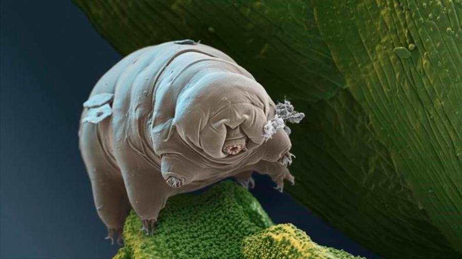 Tardigrado, la extraña criatura que sobrevivirá a la extinción y seguirá en la Tierra 10,000 millones de años
