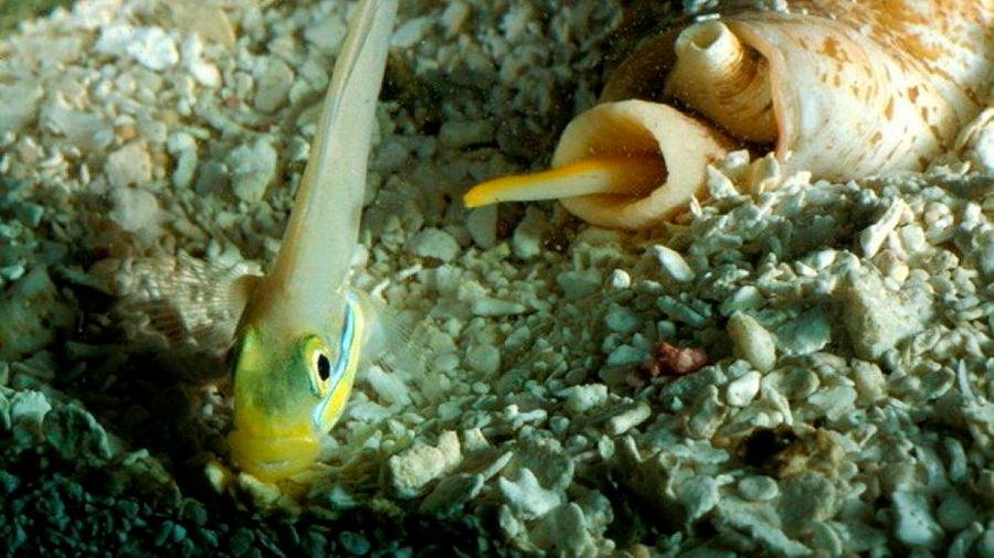 El ataque más rápido de la naturaleza lo lleva a cabo un caracol