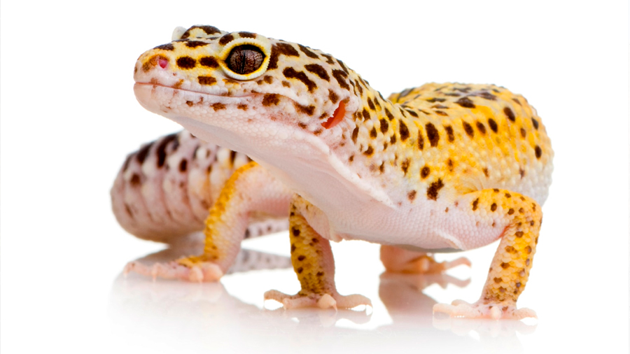 La dichosa medicina tradicional china va camino de extinguir también a estos geckos