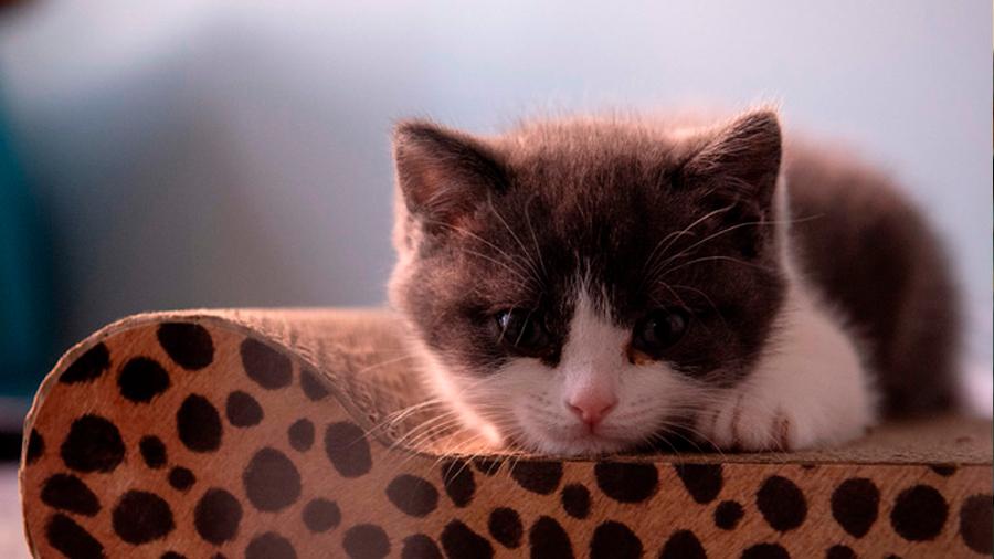 Empresa china logra clonar por primera vez un gato que había fallecido hace siete meses