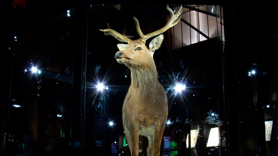 Un ciervo extinto hace 80 años revive sin ayuda científica