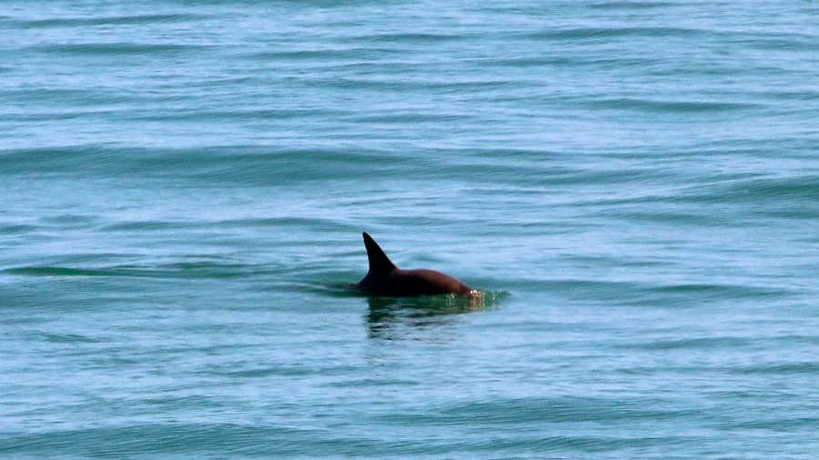 Investigadores de México y EU avistan a seis vaquitas marinas en el Alto Golfo de California