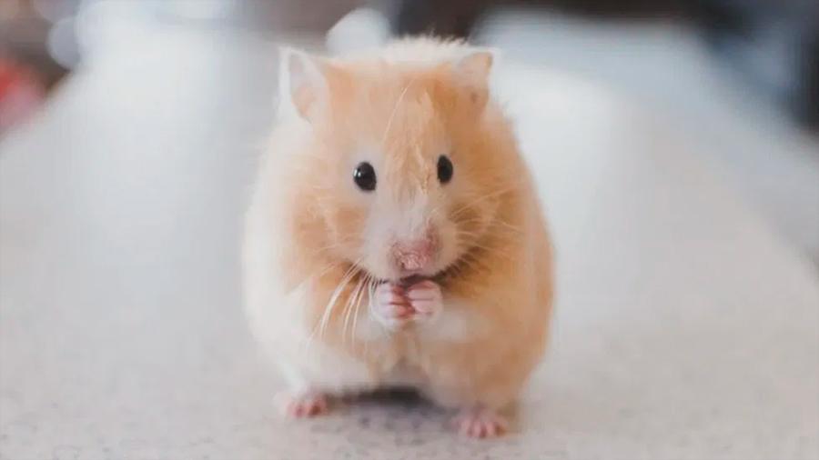 Estudio comprueba que las ratas aprenden a jugar a las escondidas