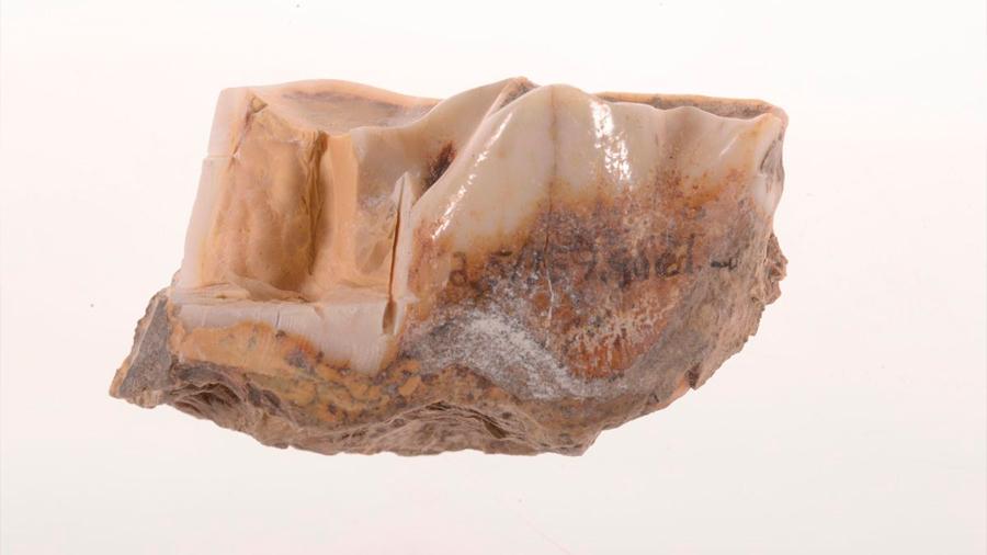 Identifican datos genéticos de un diente de rinoceronte de 1,7 millones de años