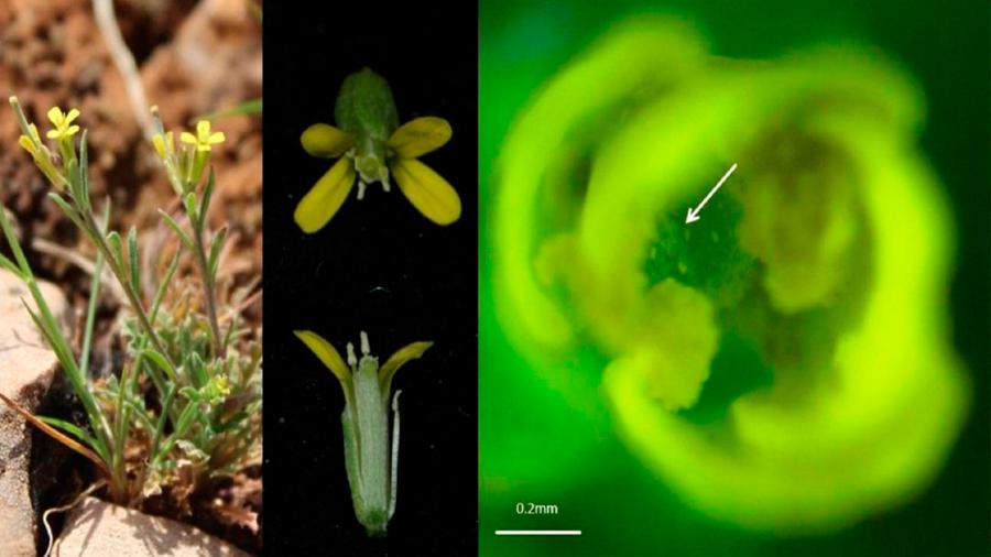 Descubren que hay plantas capaces de 'masajearse' a sí mismas para autopolinizarse