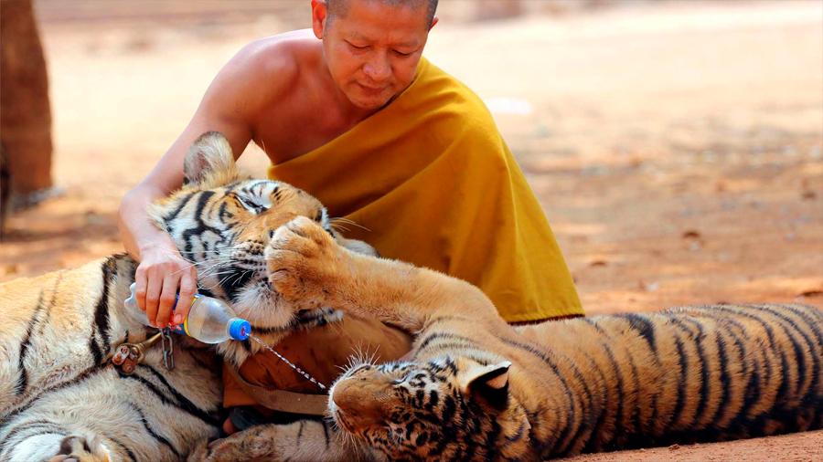 Fallecen 86 de los 147 tigres que fueron rescatados de un templo tailandés
