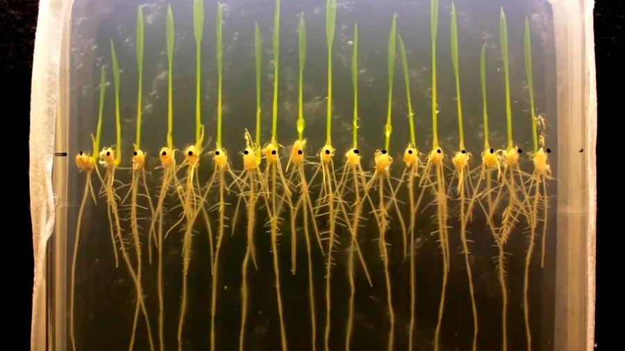 Se abre la puerta a cultivos resistentes a las inundaciones