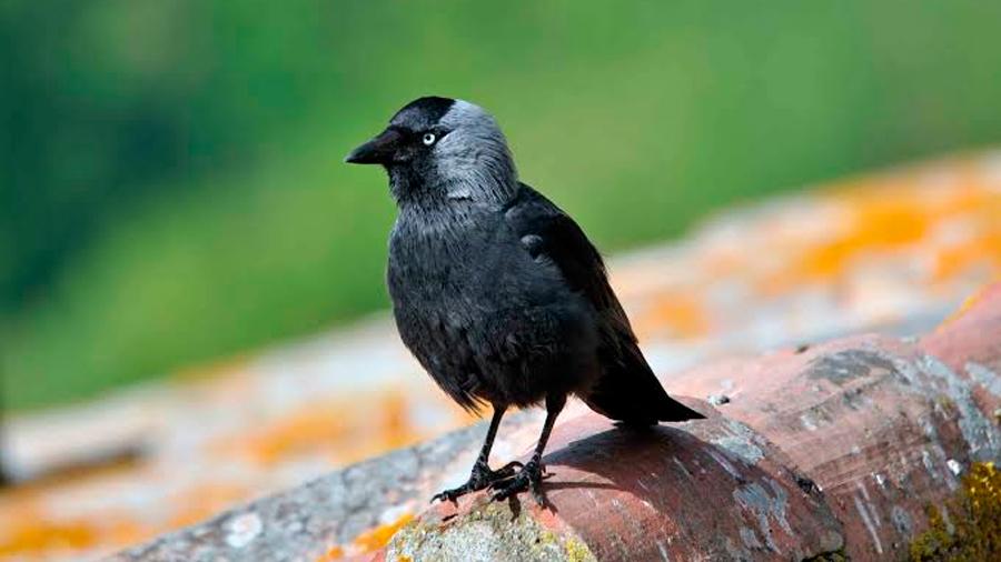 Aves de cierta especie aprenden unas de otras a identificar humanos 'peligrosos'