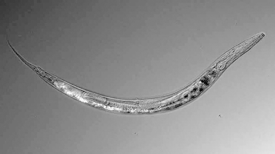 Un gusano de otro mundo, con tres sexos, vive en un lago tóxico