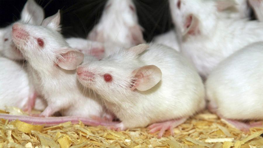Viaje espacial no altera la fertilidad de los ratones, según estudio