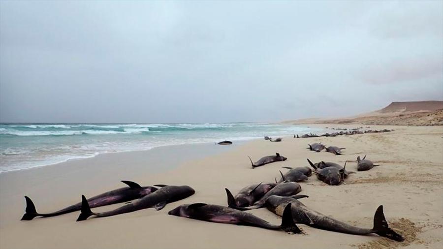 Más de cien delfines varan en la playa de una isla en Cabo Verde y muere buena parte de ellos